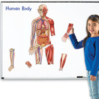 Double-Sided Magnetic Human Body (STEM)