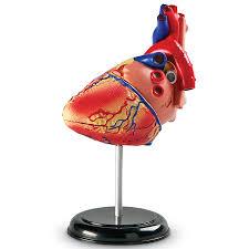 Heart Anatomy Model (Human Body, STEM)